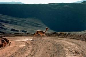 Llama crossing!